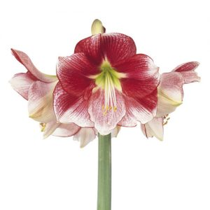 Amaryllis Exception
